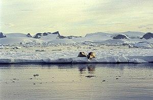 Crabeater seal - Image: Antarctic (js) 7
