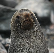 Antarctic Fur Seal at Point Wild, Elephant Island.jpg