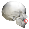Anterior nasal spine of maxilla - skull - lateral view with circle.png