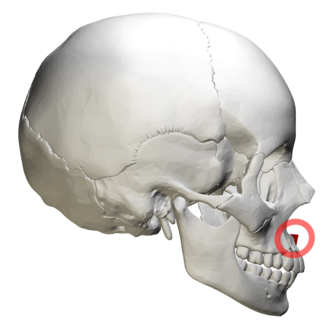 Anterior nasal spine - The skull from the side. Anterior nasal spine is at right (shown in red).