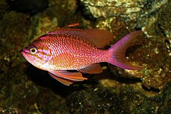 Anthias anthias 01.jpg