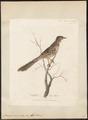 Anthochaera carunculata - 1789 - Print - Iconographia Zoologica - Special Collections University of Amsterdam - UBA01 IZ19200047.tif