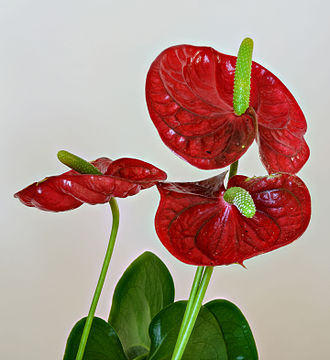 Anthurium - Anthurium sp.