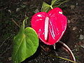 Anthurium andraeanum warden red-xavier cottage-yercaud-salem-India.JPG