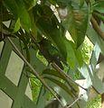 Antillean Crested Hummingbird. Orthorhyncus cristatus. Female - Flickr - gailhampshire (1).jpg