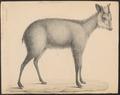 Antilope crispa - 1833-1850 - Print - Iconographia Zoologica - Special Collections University of Amsterdam - UBA01 IZ21400181.tif