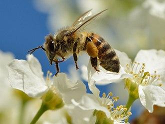 Prunus padus - Pollination