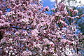 Apple-tree-flowers - West Virginia - ForestWander.jpg