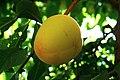 Apricot (6034335336).jpg