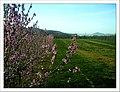 April Pfirsich Blüte Denzlingen - Master Seasons Rhine Valley 2013 - panoramio (3).jpg