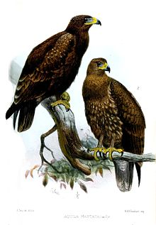 Indian spotted eagle - Wikipedia