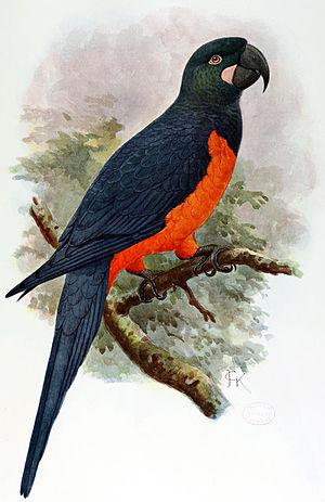 Martinique macaw - Hypothetical 1907 restoration by John Gerrard Keulemans, based on Bouton's description