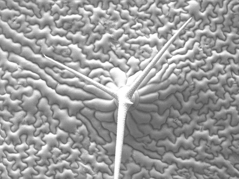 File:Arabidopsis-epiderm-and-trichome.jpg