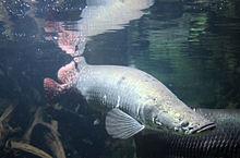 Ikan Arapaima Gigas, Sang Fosil Hidup