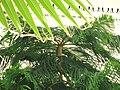 Araucaria heterophylla 23 by Line1.JPG