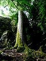 Arbre parc du château de Blarney.jpg