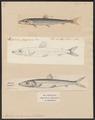 Argentina sphyraena - 1700-1880 - Print - Iconographia Zoologica - Special Collections University of Amsterdam - UBA01 IZ14800079.tif