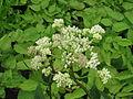 Arnoglossum plantagineum (14485332071).jpg