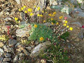 Flora of the Alps - Artemisia glacialis, the rarest kind of Genepi (wormwood)