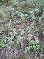 Artemisia pancicii sl 6.jpg