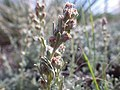 Artemisia pedatifida — Matt Lavin 013.jpg