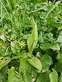 Arum maculatum 125087776.jpg