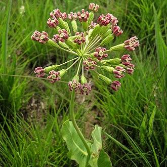 Pedicel (botany) - Image: Asclepias amplexicaulis