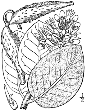 Asclepias speciosa-illustration2.png