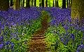 Ashridge Estate Bluebell Path (17359293198).jpg