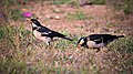 Asian Pied Starling at IIT Delhi.jpg