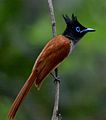 Asian paradise flycatcher sri lanka female.jpg
