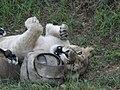 Asiatic Lioness 12.jpg