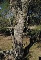 Aspidosperma quebracho-blanco- Soriano, Palmar, Bosque parque al margen del Arroyo Vera 49.jpg