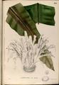 Asplenium nidus Blanco2.395-original.png
