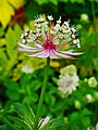 Astrantia major 003.JPG