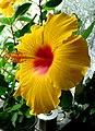 Atlas roslin pl Ketmia róża chińska 10670 9273.jpg