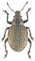 Attactagenus plumbeus (Marsham 1802) Syn.- Cneorhinus exaratus (Marsham, 1802) (16605322113).png