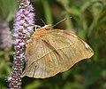 Autumnleaf Doleschallia bisaltide malabarica (4152536748).jpg