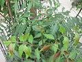 Azadirachta indica - ആര്യവേപ്പ് 08.JPG