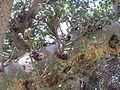 BCBG Ficus Sycomorus 03.jpg