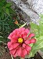 BEAUTIFUL FLOWER IN MY SMALL GARDEN.jpg