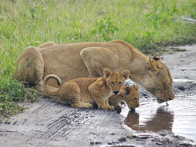 Lion and cubs, Chobe National Park. From 10 of the Best Experiences on a Safari in Africa
