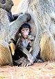 Baboon Baby Hide Me (190898759).jpeg