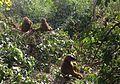 Baboons, Makasutu Forest (16035529798).jpg