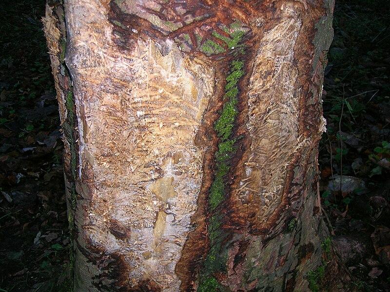 Badger Scratching tree, Spier%27s, Beith.JPG
