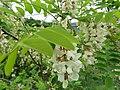 Bagrem u cvetu, Robinia pseudoacacia, Sićevačka klisura.jpg