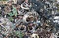 Baird's Sandpiper chicks.jpg