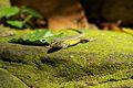 Bali 060 - Ubud - lizard.jpg