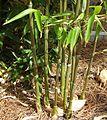 Bamboo in ground.jpg
