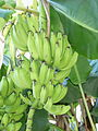 Bananas In Paramaribo.JPG